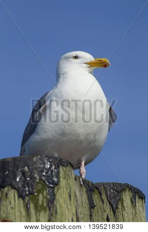 A close up of an adult Herring Gull perched on a post at Westhaven Cove in Westport Washington.