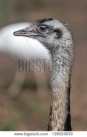 Head and neck of an ostrich on a blurred background.