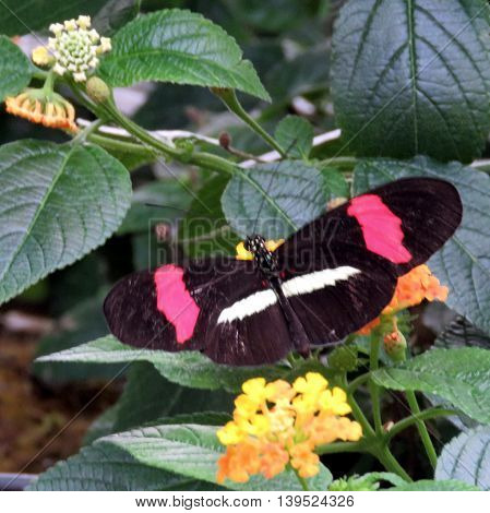 Red Postman butterfly in garden of Niagara Falls Ontario 16 July 2016 Canada