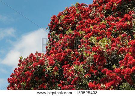 Pohutukawa - New Zealand Christmas tree in bloom