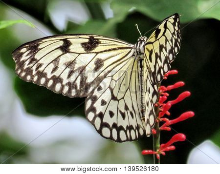 The Rice Paper (Idea Leuconoe butterfly) in garden