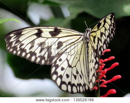 The Rice Paper butterfly (Idea Leuconoe) in garden