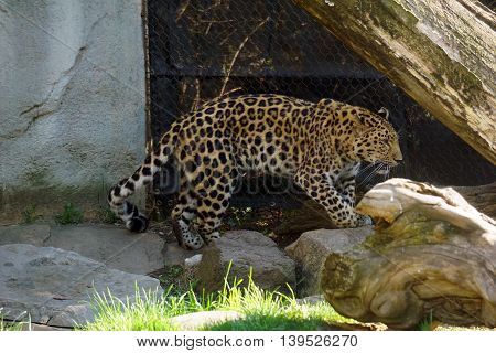 An Amur leopard (Panthera pardus orientalis) walks beside a chain link fence.