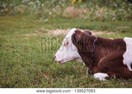 Cow Lying Down In A Meadow