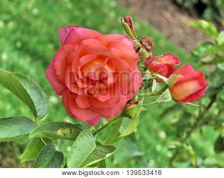 'Die Welt' rose in garden of Niagara Falls Ontario 16 July 2016 Canada