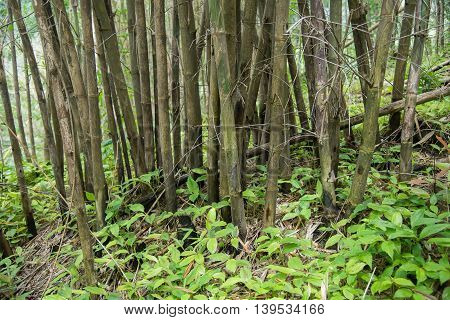 Green bamboo forest Umphang Tak ,Thailand .