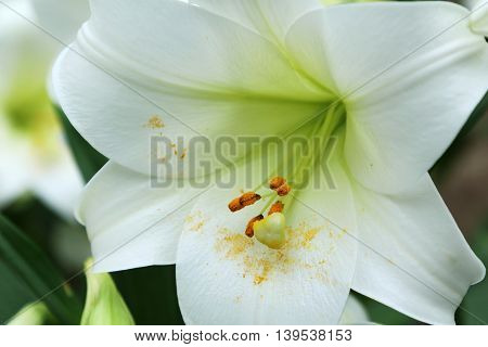 Close up of a single white lily flower in full bloom with pollen fallen on its petals