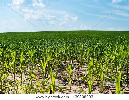 Corn field agriculture on bright summe day