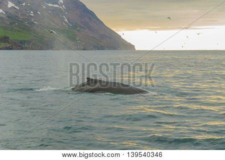 Whale, Near Husavik
