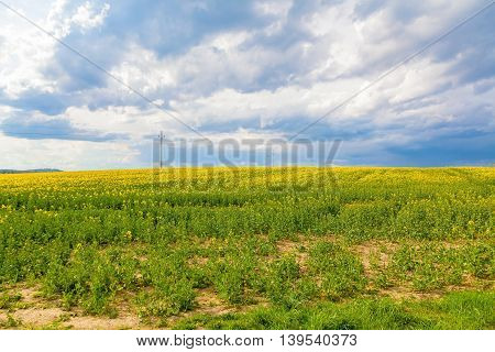 Yellow oilseed flower field and cloudy sky