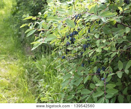 Honeysuckle bushes with blue ripe berries in the garden