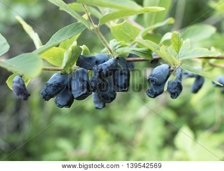 Honeysuckle branch with blue ripe berries in the garden