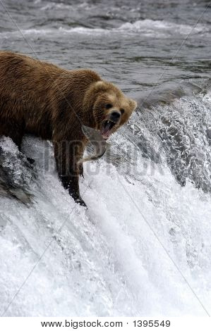 Brown Bear Attempting To Catch Salmon