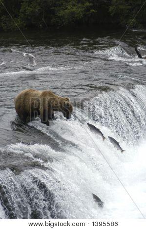 Brown Bear On Top Of Brooks Falls