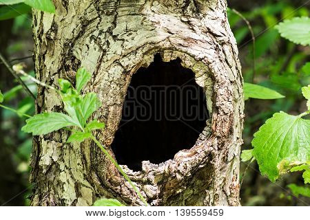 Large hollow tree on a background of green foliage. Serves nest for birds and shelter for animals. Selective focus shallow depth of field