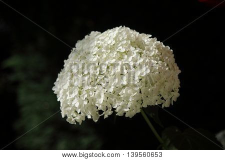 Blossoms of a big white Hydrangea (hortensia), presented on a dark, blurred background.