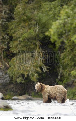 Brown Bear Standing In Brooks River Alaska