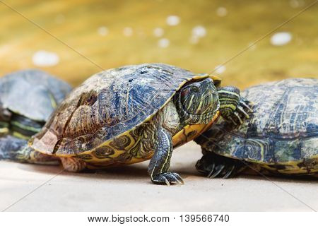 The pond slider (Trachemys scripta) common medium-sized semi-aquatic turtle. Red-eared turtles. Thailand. poster