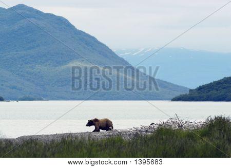 Braunbär auf Naknek Lake beach