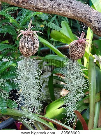 Beautiful Green Tillandsia Usneoides Plants or Spanish Moss Plants Hanging On The Air.