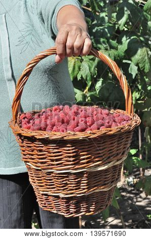 basket of the ripe raspberry in hand of the old women