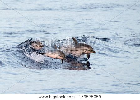 Dolphin While Jumping In The Deep Blue Sea At Sunset
