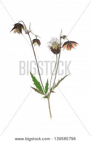 Pressed and dried flower on delicate Geum rivale water avens or avens river on stem with green leaves. Isolated on white background. For use in scrapbooking floristry (oshibana) or herbarium.