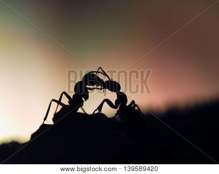 ants silhouettes at sunset. Kiss insects. Orange and black. Macro.