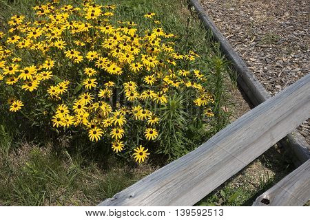 Wild Black Eyed Susan surrounded by wooden fence