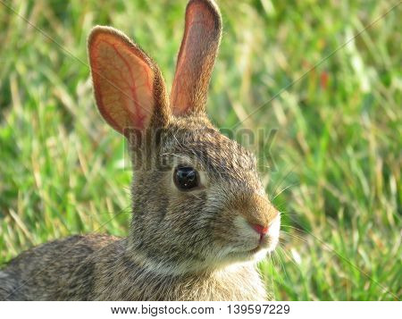 head of an eastern cottontail rabbit in my front yard