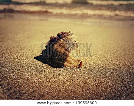 Large whelk shell in the sand near the sea. Golden filter