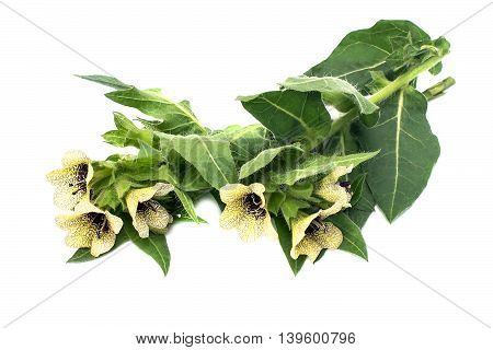 Poisonous plant henbane black (Hyoscyamus niger) isolated on white. In herbal medicine is used as a medicinal plant