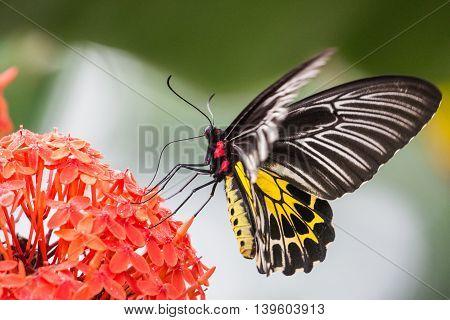 Troides minos or Southern Birdwing, Kerala, India