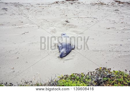 Male Sealions Relax At The Beach