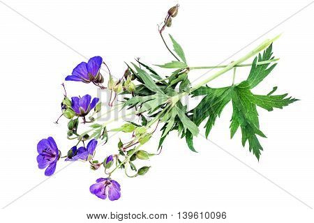 Medicinal plant Meadow geranium (Geranium pratense) Isolated on a white background. Used in herbal medicine is a good honey plant