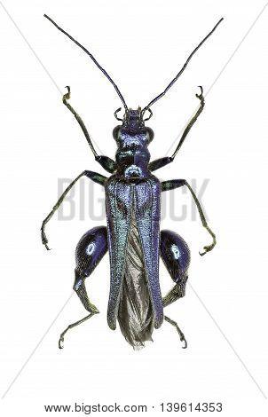 Swollen-Thighed Beetle on white Background  -  Oedemera nobilis  (Scopoli, 1763)