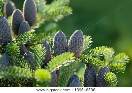 Pinecone On Fir Tree