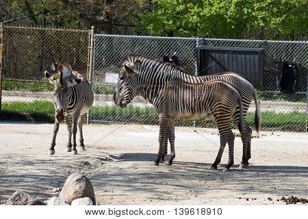 A Grevy's zebra (Equus grevyi) stallion walks toward a mare and foal standing together, their stripes seeming to blend together.