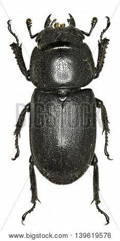 Lesser Stag Beetle on white Background  -  Dorcus parallelipipedus (Linnaeus, 1758)