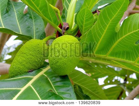 breadfruit : the large round starchy fruit of a tropical tree which is used as a vegetable and sometimes to make a substitute for flour.