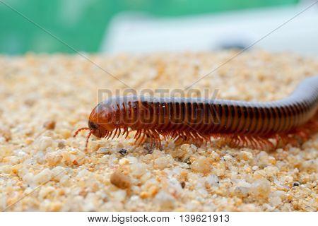 the millipede walking on sandselection focusclose up