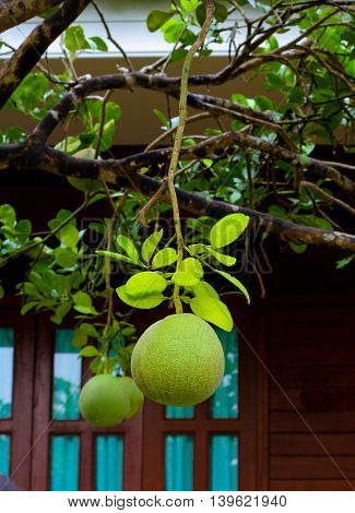 grapefruit green on tree in the garden.