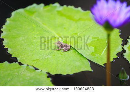 Close up a little frog on green lotus leaf