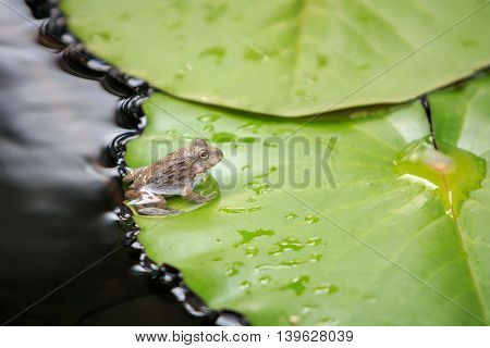 A Little Frog On Green Lotus Leaf