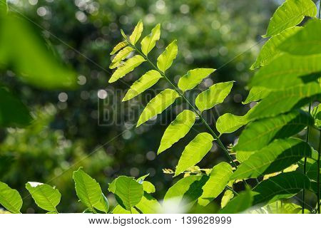 Fresh Neem leaves Azadirachta indicamedicinal plant with bokeh background.