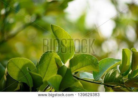 Fresh Bergamot Leaves With Bokeh Background