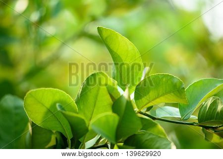 Fresh green bergamot leaves with bokeh background.