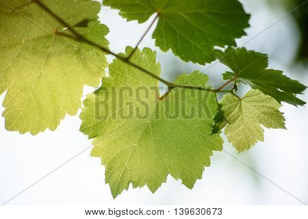 Fresh Green Grapes Vine On Bokeh Background