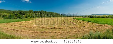 Rows of cut alfalfa cure in a hay field. Panorama