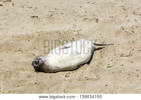 Sealion  Relaxes And Sleeps At The Sandy Beach